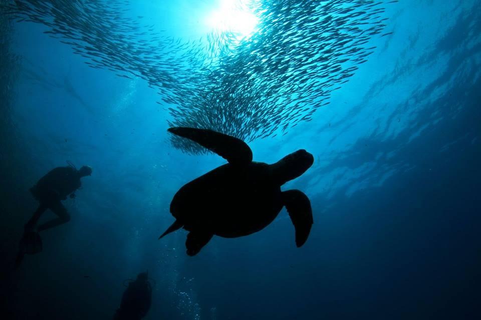moalboal sardine run