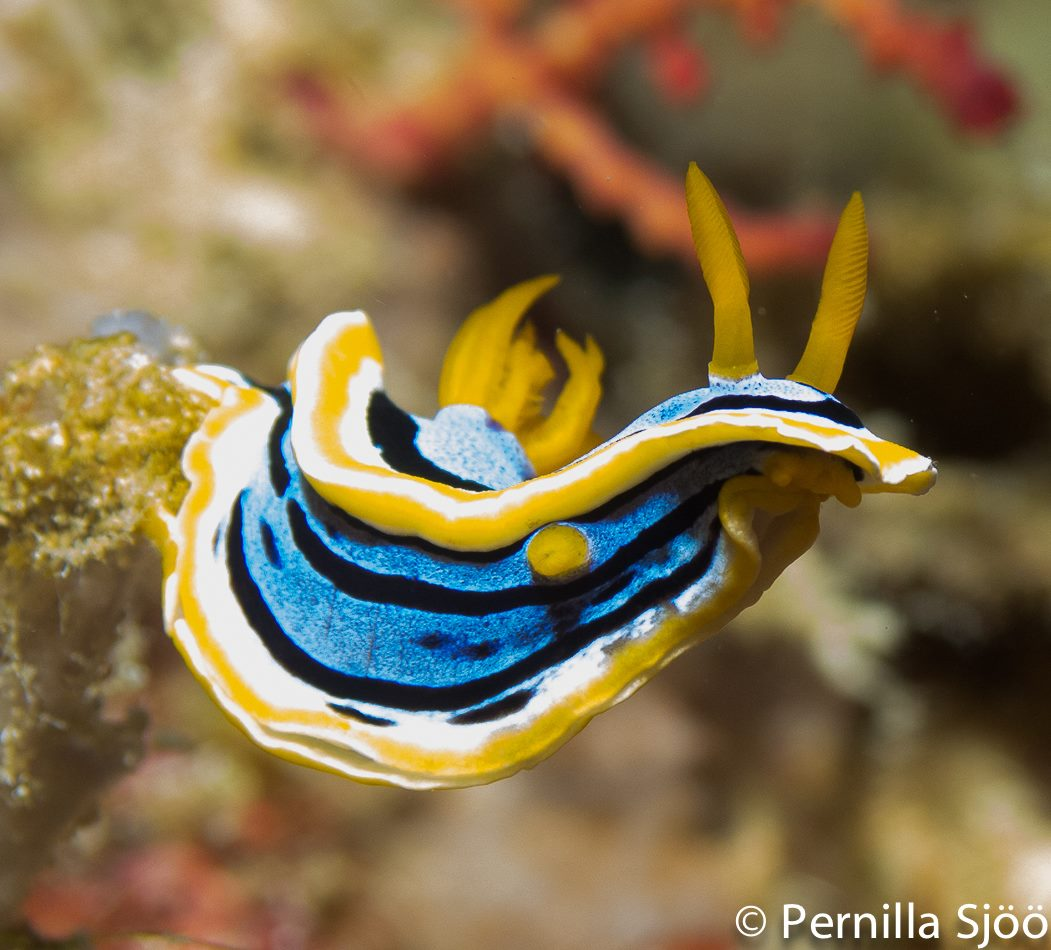 Nudibranch, Moalboal