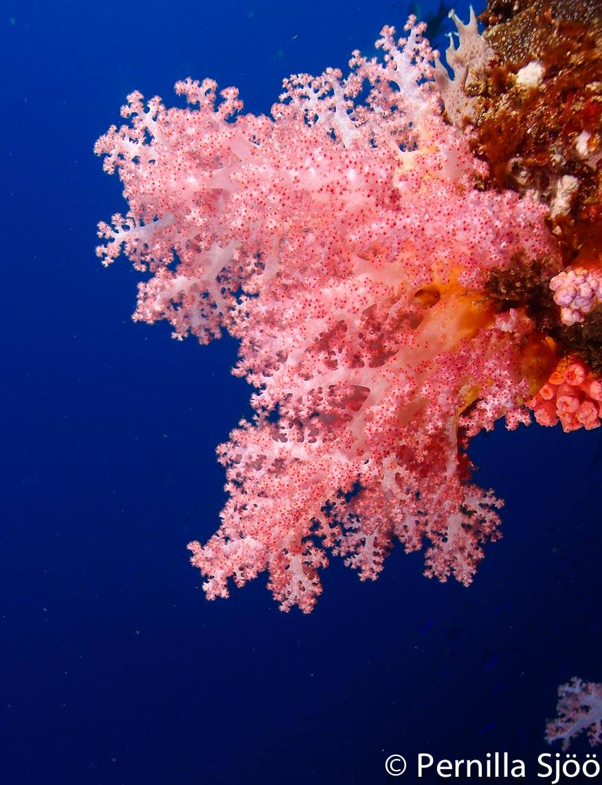 Soft corals on one of Moalboals wall dive