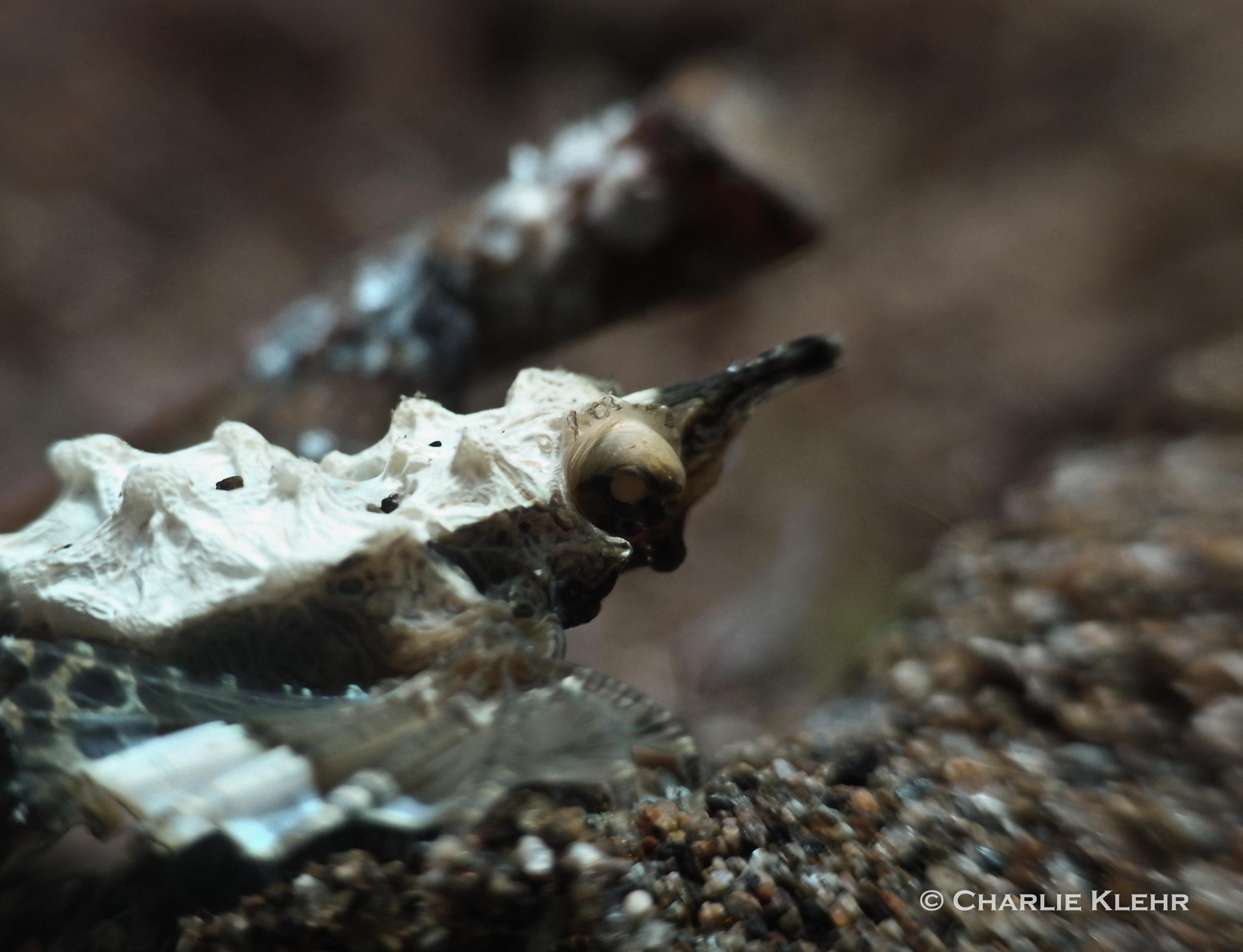 Pegasus sea moth